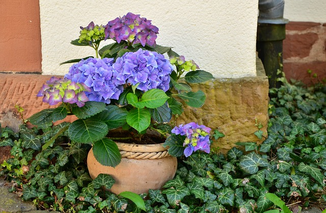 hydrangeas in pot